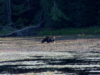Moose in pond across the road